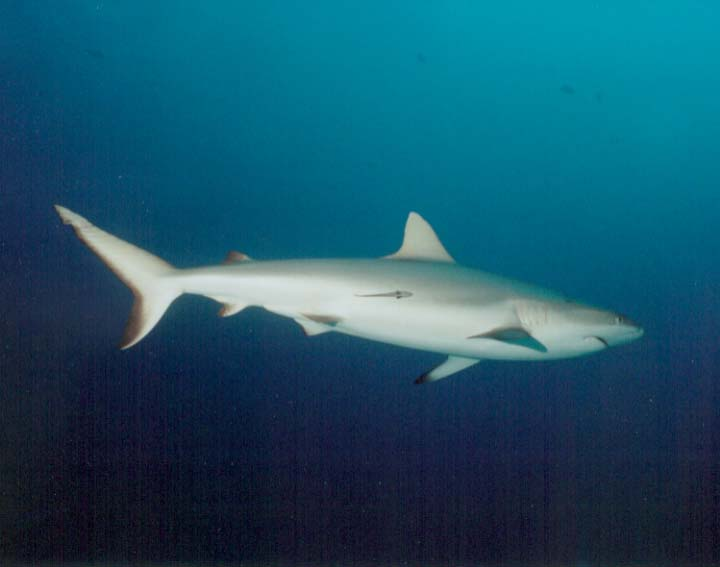 Apex Predator - pacific reef shark. Scuba Dive