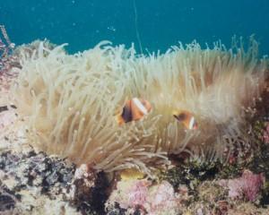 Clownfish-2013 10 20-03 46 17-UTC