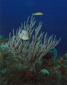 foureyedbutterflyfish-2013 10 20-03 46 17-UTC